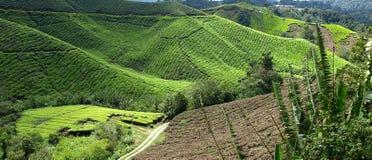 Plantantions Cameron Highlands do chá fotos de stock royalty free
