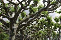 Plantanus树 免版税库存图片