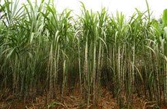 Plantação da cana-de-açúcar Fotografia de Stock Royalty Free