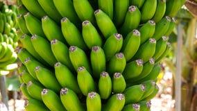 Plantação de banana canarina Platano no La Palma Imagem de Stock Royalty Free