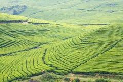 A plantação de chá grande Imagem de Stock