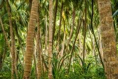 Plantação do coco Fotografia de Stock