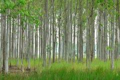 A plantação do eucalipto para a indústria de papel Fotografia de Stock Royalty Free