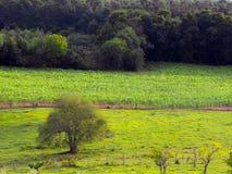 Plantação do milho Fotografia de Stock Royalty Free