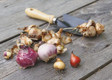 Plantação do outono de bulbos de flor na terra Fotografia de Stock Royalty Free