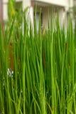 Plantaris i kruka p? tabellen av kaf?t Levande gr?nt saftigt gr?s i bunke med regndroppar close upp fotografering för bildbyråer