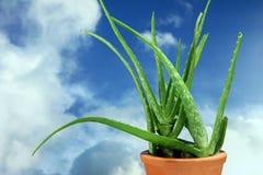 Plantas - áloe Vera - vástago Imágenes de archivo libres de regalías