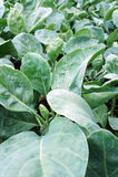 Plantas 2 de la col rizada Fotos de archivo