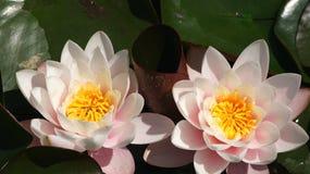 Plantas acuà ¡ ticas en los jardines de MosA©nn Cinto Verdaguer 库存照片