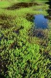 Plantas acuáticas Imagen de archivo libre de regalías