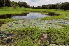 Plantas acuáticas Manaus Imagen de archivo libre de regalías