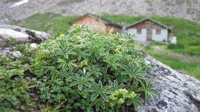 Plantas alpinas com as cabanas no fundo Imagens de Stock Royalty Free