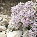Plantas alpinas cor-de-rosa em um fundo apedrejado Imagens de Stock Royalty Free