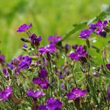 Plantas alpinas roxas pequenas de florescência em um fundo verde Imagens de Stock Royalty Free