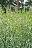 Plantas altas Fotos de Stock Royalty Free