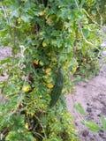 Plantas amargas muy bonitas de la calabaza en zonas rurales foto de archivo