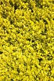 Plantas amarillas como fondo Imagen de archivo libre de regalías
