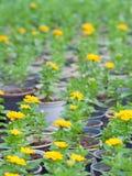 Plantas amarillas jovenes de la flor en potes Imágenes de archivo libres de regalías