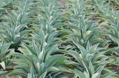 Plantas americana del agavo hermoso Foto de archivo libre de regalías