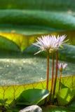 Plantas aquáticas Foto de Stock Royalty Free