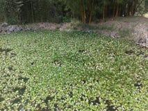 Plantas aquáticas Imagem de Stock