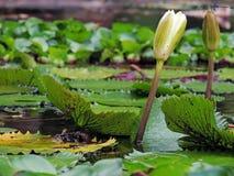 Plantas aquáticas, jardim botânico, Merida, Venezuela Imagem de Stock