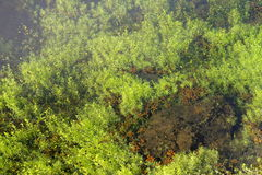 Plantas aquáticas mim Fotografia de Stock Royalty Free