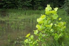 Plantas aquáticas na água pouco profunda foto de stock royalty free
