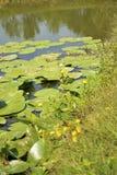 Plantas aquáticas no lago com lírios de água fotografia de stock royalty free