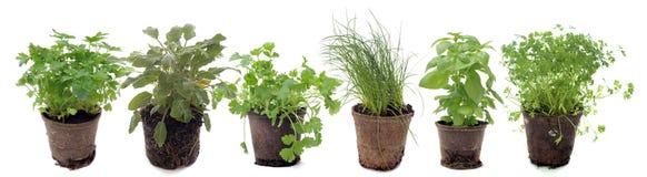Plantas aromáticas en estudio Fotografía de archivo