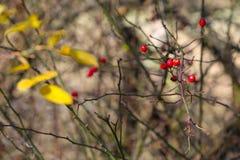 Plantas asombrosas alrededor de nosotros en la naturaleza - cadera color de rosa Fotos de archivo