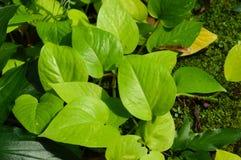 Plantas auríferas del Scindapsus Imágenes de archivo libres de regalías
