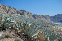 Plantas azuis da agave pelo mar Terreno montanhoso coberto com a agave imagens de stock royalty free