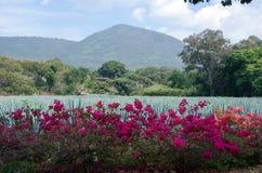 Plantas azules del agavo para Tequilla Foto de archivo libre de regalías