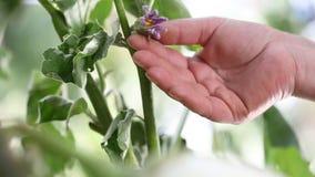 Plantas blancas de las berenjenas, flor del tacto de la mano en huerto almacen de video