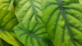 Plantas bonitas da folha no lanaka do sri fotografia de stock