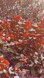 Plantas bonitas da goiaba Imagem de Stock