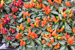 Plantas brilhantes da pimenta vermelha Imagens de Stock Royalty Free