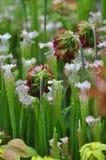 Plantas carnívoras Imagenes de archivo