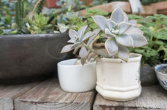 Plantas carnudas Imagem de Stock