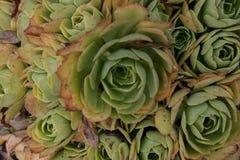 Plantas carnudas de Sempervivum fotografia de stock