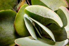 Plantas carnudas do deserto do Kalahari Imagens de Stock