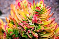 Plantas carnudas do deserto do Kalahari Fotografia de Stock
