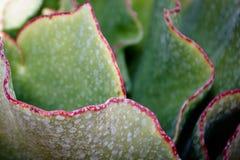 Plantas carnudas do deserto do Kalahari Imagens de Stock Royalty Free