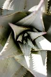 Plantas carnudas do deserto do Kalahari Imagem de Stock