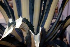 Plantas carnudas do deserto do Kalahari Fotos de Stock