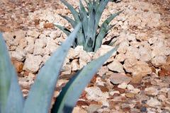 Plantas carnudas do deserto do Kalahari Imagem de Stock Royalty Free