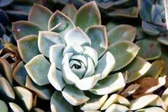 Plantas carnudas do deserto do Kalahari Fotos de Stock Royalty Free