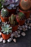 Plantas carnudas e cacto pequenos do echeveria Fotografia de Stock Royalty Free