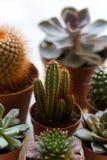Plantas carnudas e cactos pequenos do echeveria Fotografia de Stock